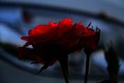 Rose Sauvage.