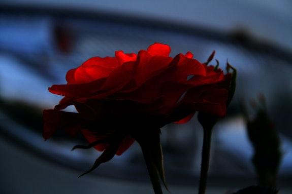 Rose Sauvage. Ferri Ferri