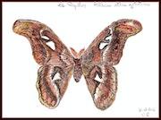 Période papillon.