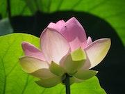 Lotus Sacré sur l'étang de Fontmerle à Mougins. Solena432