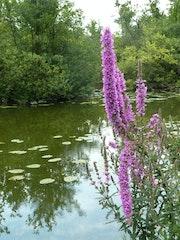 Floraison d'Eclusier juillet 2012.