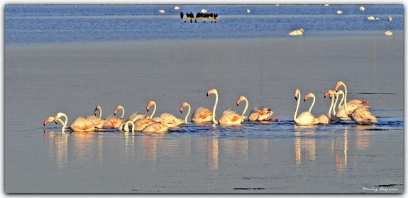 Flamingos at Bird Paradise.  C. Deniz Seyran
