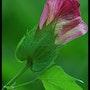 Fleur de Coton Rose. Martine Dugue