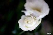 La rose de l'amitié!.