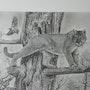 Puma sur un arbre mort. Jean Camoin