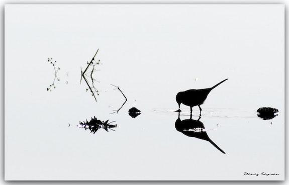 Pied wagtail - Motacilla alba.  C. Deniz Seyran