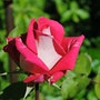 The Colorful Rose!. Willssb