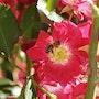 Fleur-rose-rouge. Didier Collignon