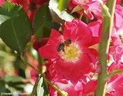 Rose-rouge et l'abeille Maya l'Abeille.