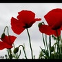 Coquelicots…. Martine Dugue