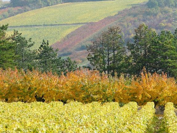 Vignes et cerisiers en automne.  Michel Worobel