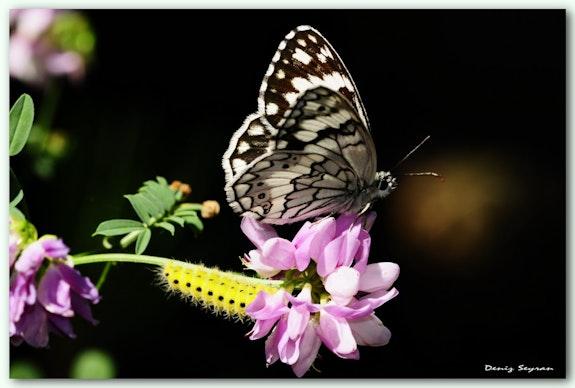 Butterfly and Caterpillar.  C. Deniz Seyran