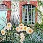 Les dahlias sous la fenêtre - Jardin d'Angélique - Eure. Gérard Pichet