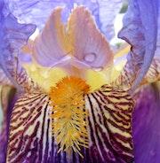 Coeur d'iris après l'averse….