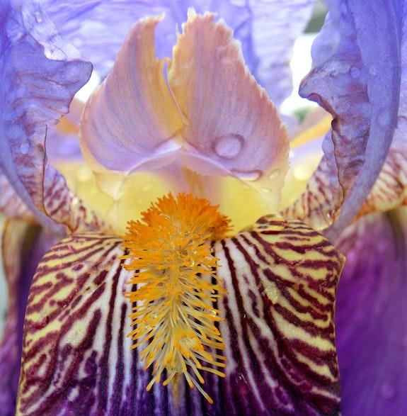 Coeur d'iris après l'averse…. Janeon Janeon Photos
