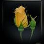 Rose jaune. Martine Dugue