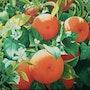 Azahar y naranjas a la luz de la mañana. Carseda
