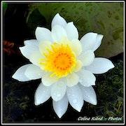 Lotus. Coline Kiene