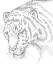Tigre africaunite. Sebastian Muller