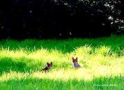 Les renardeaux.