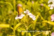 Papillon. Thierry Gouvernet