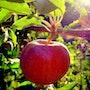 Nouvelle pomme. Coline Kiene
