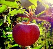 Nouvelle pomme.
