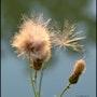 Fleur dorée. Martine Dugue