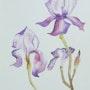 Iris en fleur. Sylvia Patissier-Gauthier