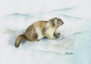 Petite Marmotte des Hautes Alpes.