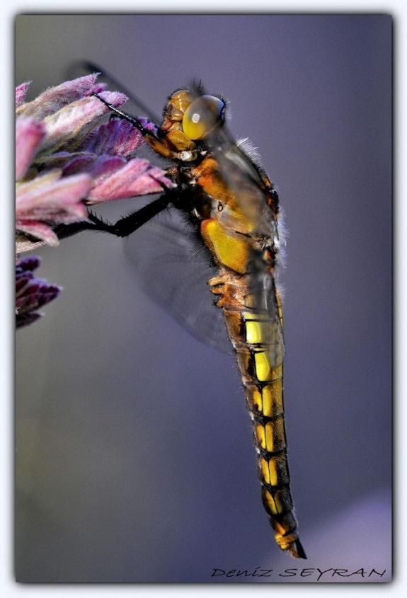 Dragonfly.  C. Deniz Seyran