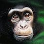 Chimpanzé. Vanessa Moinier