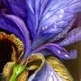 Iris Detail. Simone Wilhelms