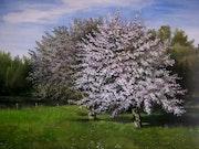 Blühende Apfelbäume.