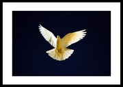 «Dove» limited edition framed print.