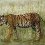 Tigre du Bengale. Marie-Noel Toulon
