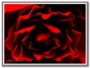 L'Âme de la Rose… La Reine des Fleures.
