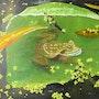 Une grenouille dans l'eau. Lisette