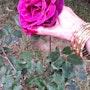 Rosa, de mi jardin.. M. Pilar