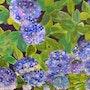 Hortensias Bleus. Miguen
