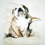 Bulldogge. Eddy