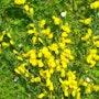 Des genêts sur l'herbe. Fk