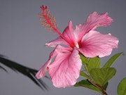 Hibiscus flower at night in Réunion Island. Alain B.
