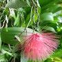 Fleur hérisson. Maritisse