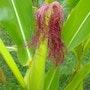 La rouquine dans les maïs. Fk
