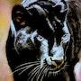 La panthère noire. Bernard Sannier