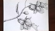 Dessin de Fuchsia.