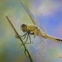 Belle libellule des étangs et des mares…. Michel. Gouyet