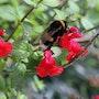 Bourdon butinant des fleurs. Didier Collignon