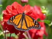 Papillon Monarque sur dahlia rouge.